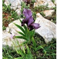 Неизвестный известный Израиль. Маршрут 8  цветение самых красивых ирисов Израиля