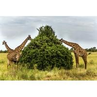 На фоне Килиманджаро. Сафари в Кении