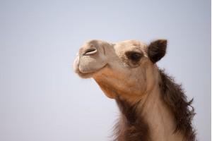 Верблюды - символом наследия Эмиратов
